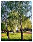 breza